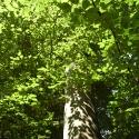 Durchleuchtetes_Blätterdach